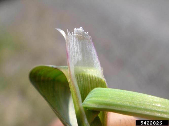 The ligule is transparent (where blade and sheath come together)