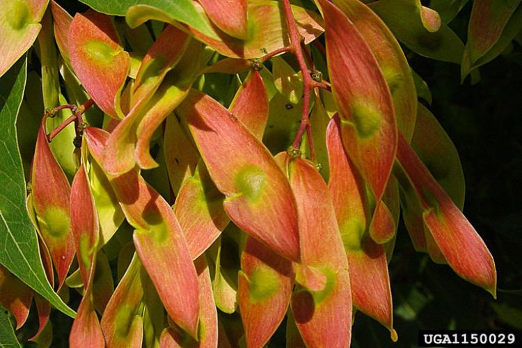 Tree-of-heaven: fruit produced on female plants are tan to reddish, single winged and can be wind or water-dispersed.