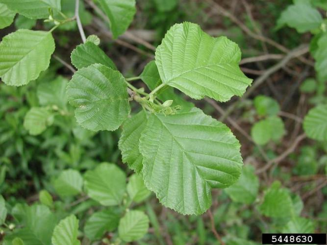European alder: leaves are simple, alternate and doubly-toothed.