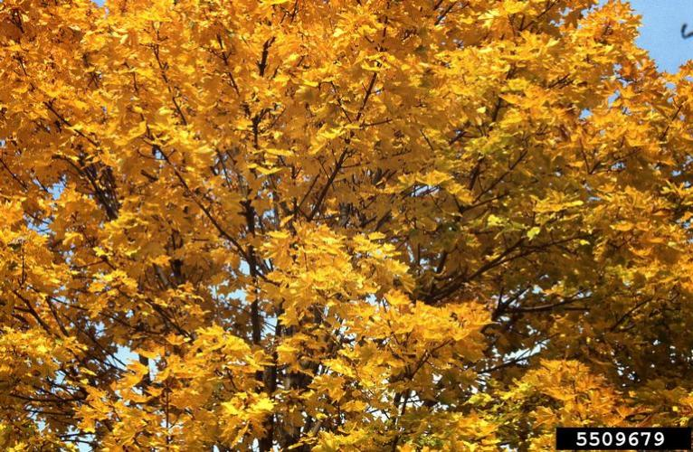 Norway maple: fall foliage.