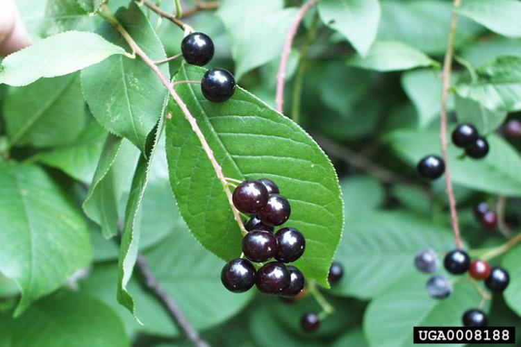 Common chokecherry has droopy clusters of flowers and fruit, and leaf veins do not run parallel towards the tip like in Common buckthorn