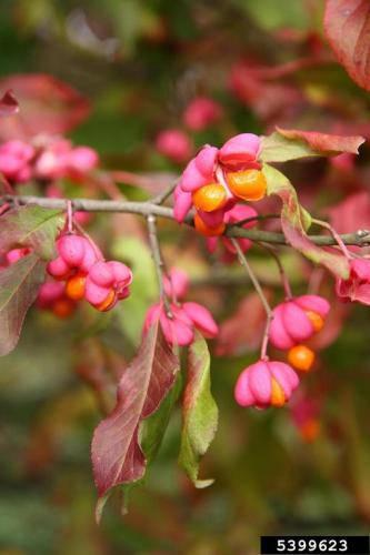 Look-alike: spindle-tree is also a Euonymus, with a pink capsule and orange/red fruit inside. This is also an invasive species.