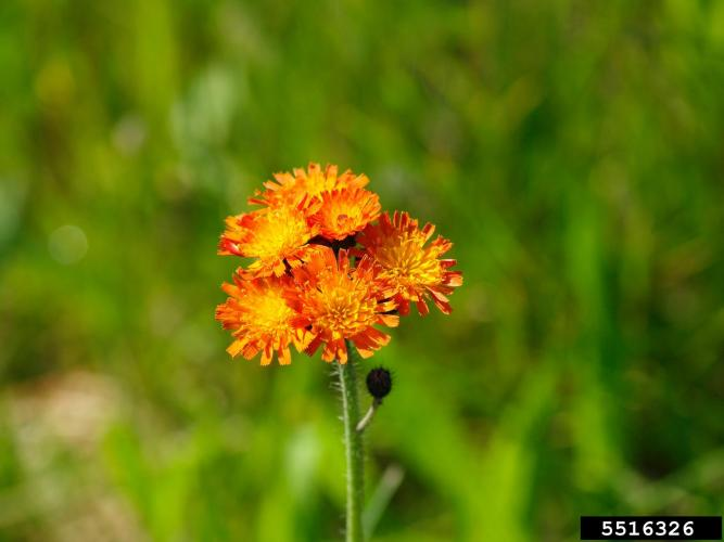 Look-alike: orange hawkweed (Hieracium aurantiacum), non-native, has orange-red ray flowers.