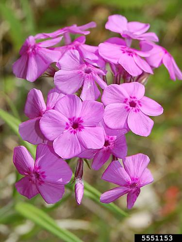 Downy phlox, five petals versus four