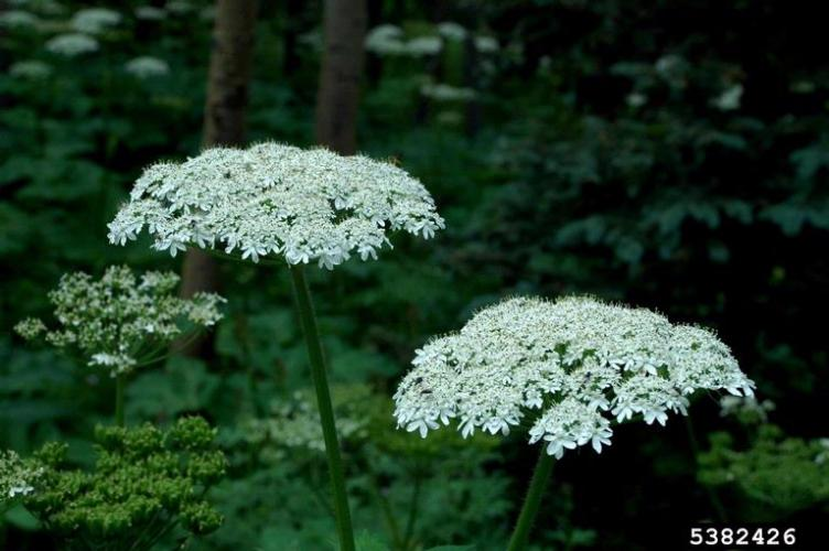 American cow parsnip (native to North America) is large, but has flat-topped flower clusters