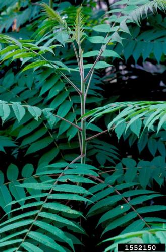 staghorn sumacStaghorn Sumac (Rhus hirta) has toothed leaf edges, and lacks the tell-tale glands that Tree-of-heaven have on the underside of the leaf