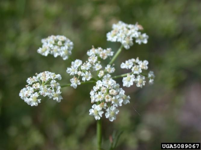 Look-alike: common caraway (Carum carvi).
