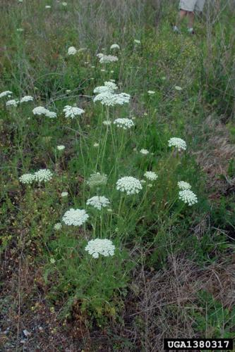 Look-alike: queen Anne's lace (Daucus carota).