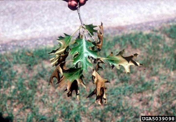 Oak wilt: wilting leaves are often discolored along outer edges, with discoloration ranging from pale green to yellow, bronze, or brown.