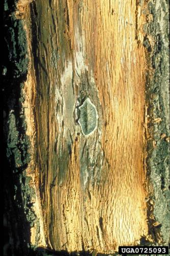 Oak wilt: spore mat under bark.