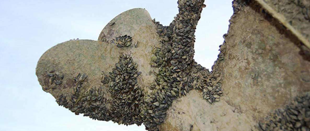 Quagga mussels on a boat propeller from Lake Mead