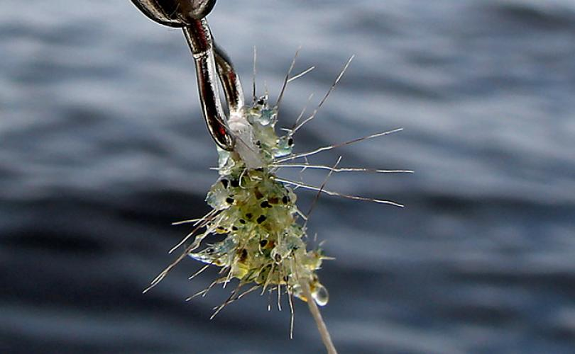 Spiny waterfleas caught on fishing tackle