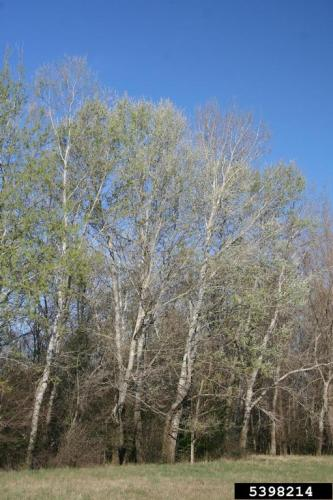 White Poplar Infestation