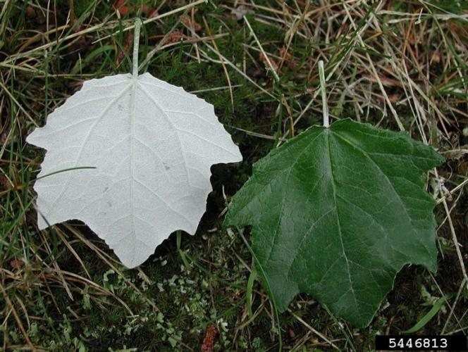White Poplar Leaves