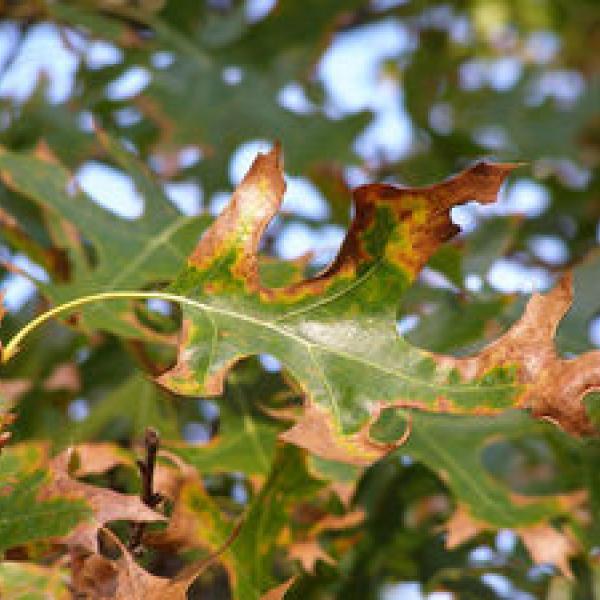 Oak Wilt An Aggressive Disease That Kills Thousands Of Trees