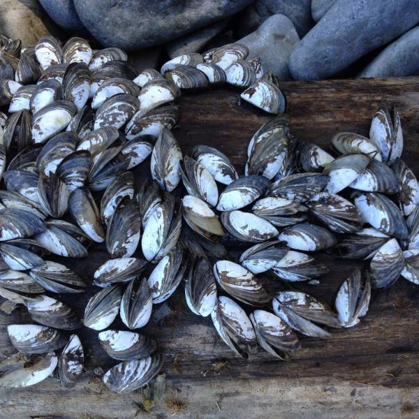 Zebra mussels can quickly attach to and populate all hard surfaces found on a lake bottom