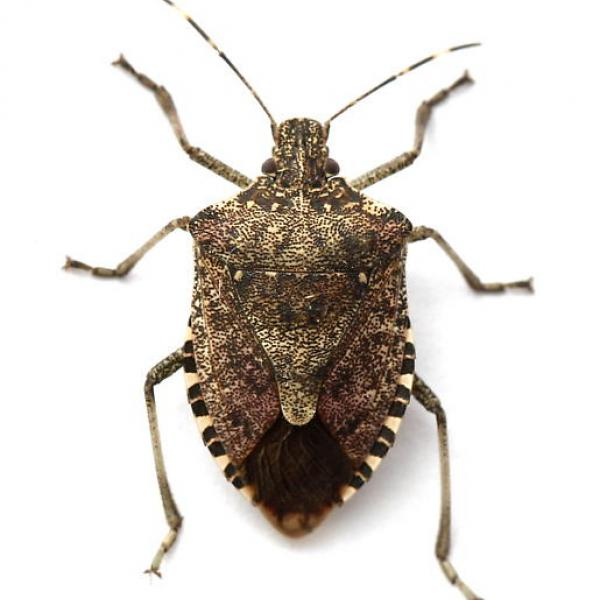 are you seeing brown marmorated stink bugs vermont invasives