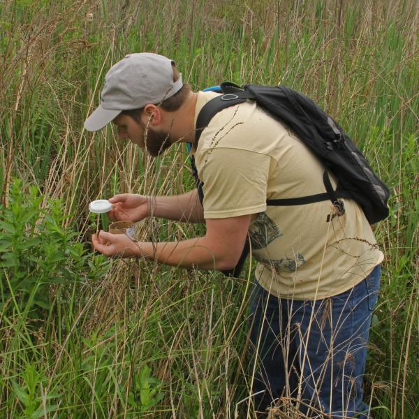Beetles released onto purple loosestrife plants