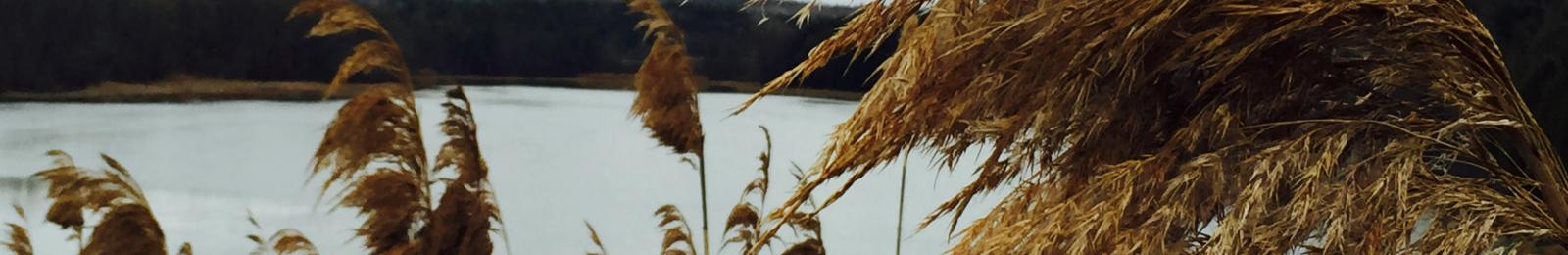 Phragmites (common reed)